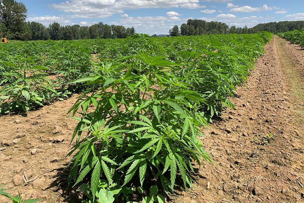 Outdoor hemp grow operation at iHEMPx