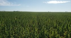 Auto Flower hemp field iHEMPx