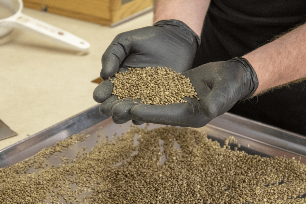 iHEMPx Hemp Seeds and Genetics in hands